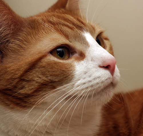629px-Cat_whiskers_closeup.jpg